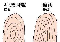 箕纹和斗纹的区别