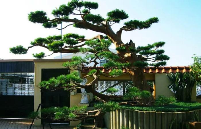 中式庭院常用主景树(一)——造型类