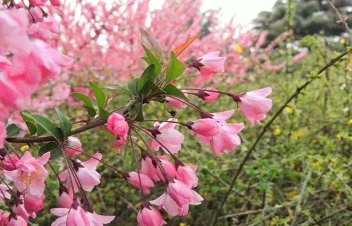 中式庭院常用主景树(二)——观花赏叶型