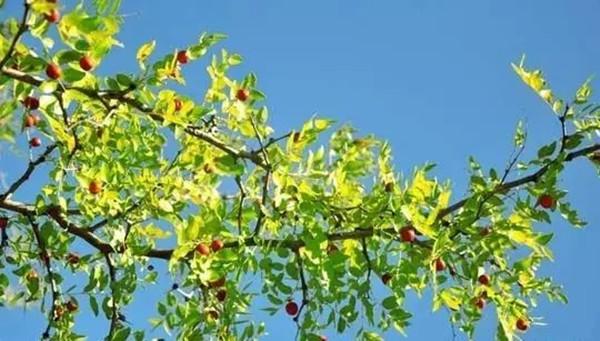 中式庭院常用主景树(三)——观花品果型