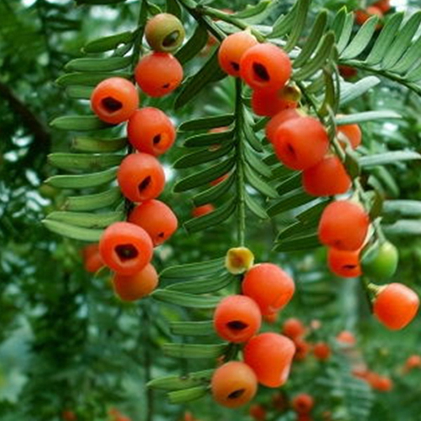 红豆杉家具方料_红豆杉家具价格-- 成都市天地之美乌木制品有限公司