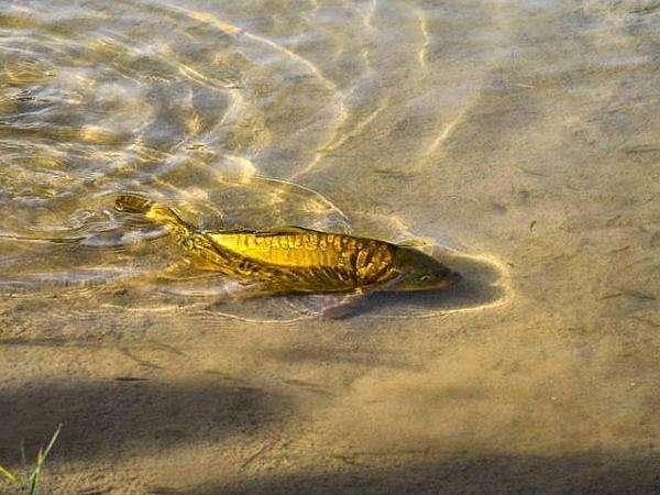 月牙泉三宝·铁背鱼